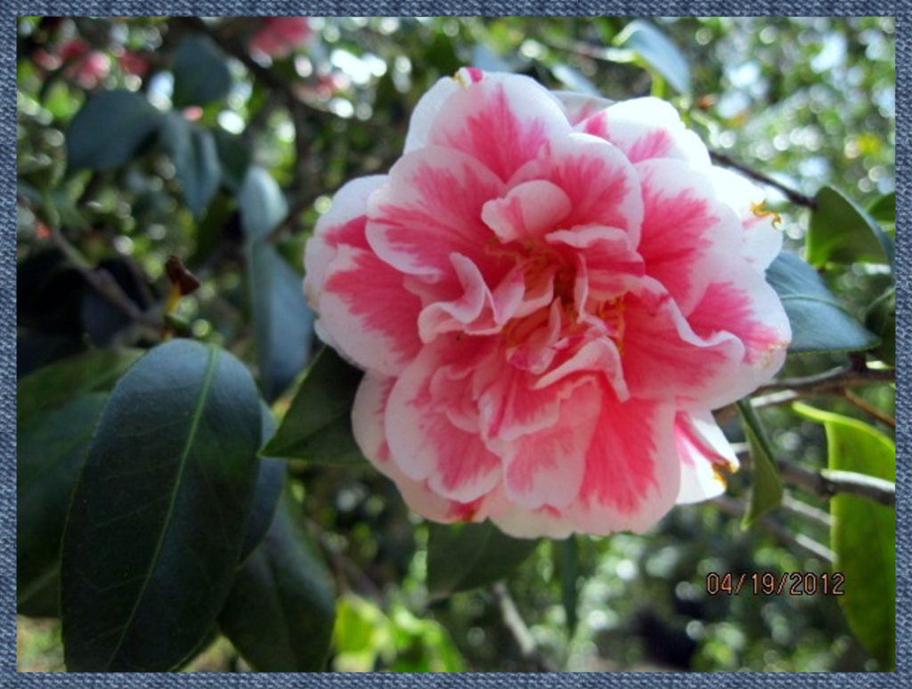 Close-up of a camellia