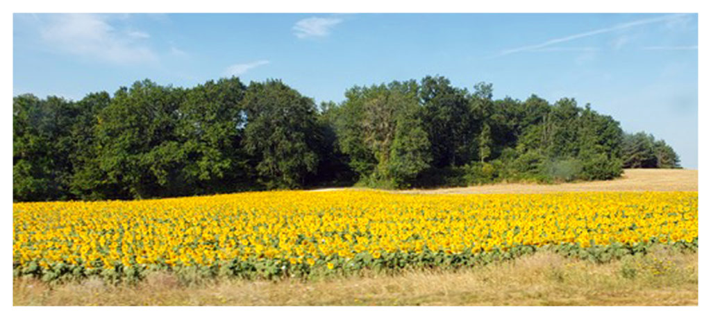 A field of sunflowers on the way to the castle.